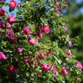 Summer Roses (Eugene, Oregon)