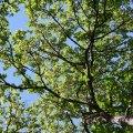 Tree Canopy, Lithia Park (Ashland, Oregon)