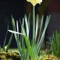 Unusually Vertical Daffodil