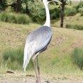White-Naped Crane at Wildlife Safari (Winston, Oregon)