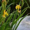 Yellow Irises (Ashland, Oregon)