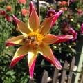 Bees, Dahlia